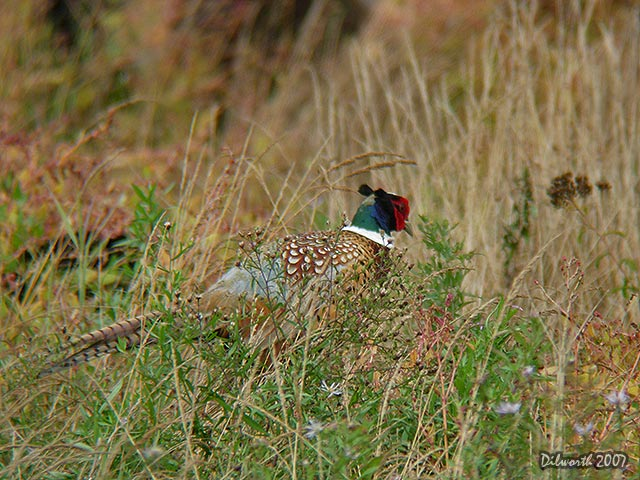 562 Ring-necked Pheasant
