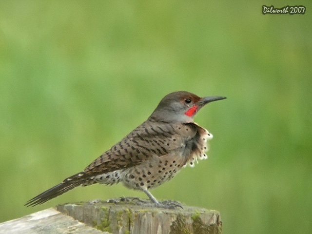 563m2 Northern Flicker