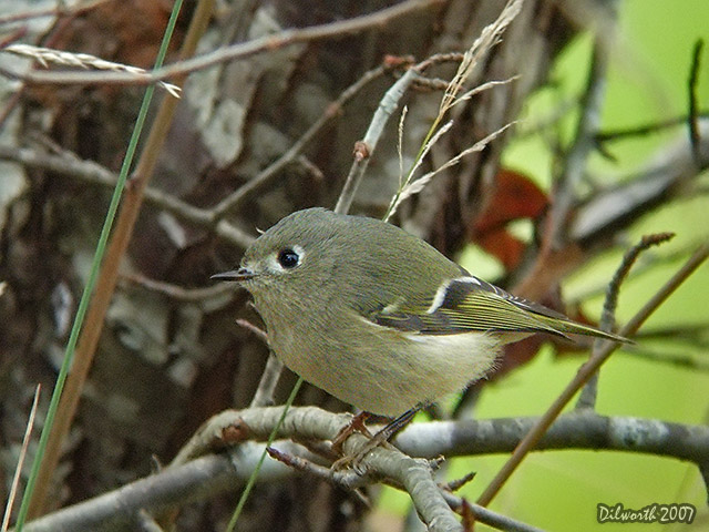 567 Ruby-crowned Kinglet