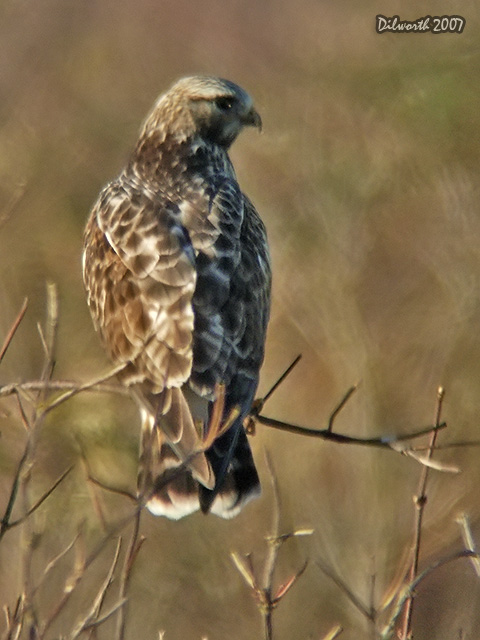 v570 Rough-legged Hawk