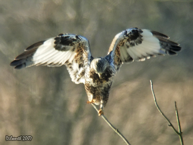 570m2 Rough-legged Hawk