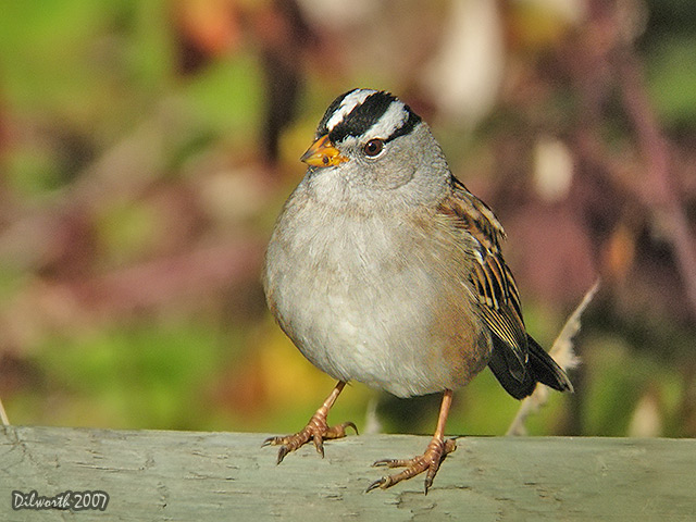 571 White-crowned Sparrow