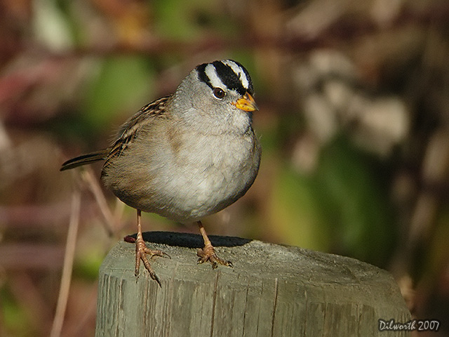 571m White-crowned Sparrow