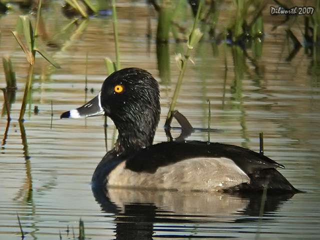 572m7 Ring-necked Duck