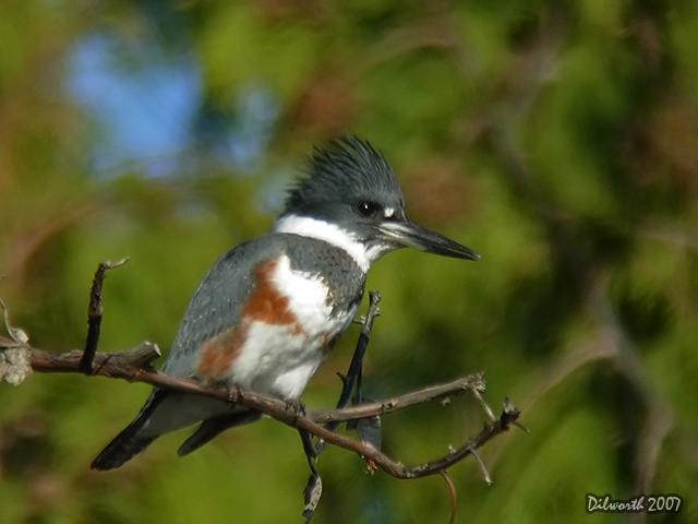574 Belted Kingfisher
