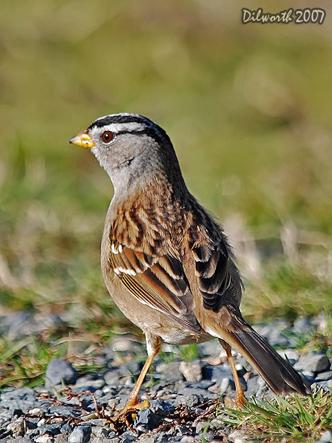 v576 White-crowned Sparrow