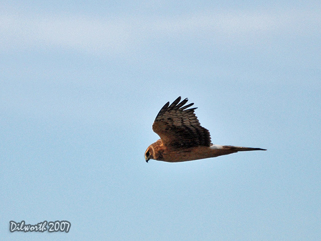 577 Northern Harrier