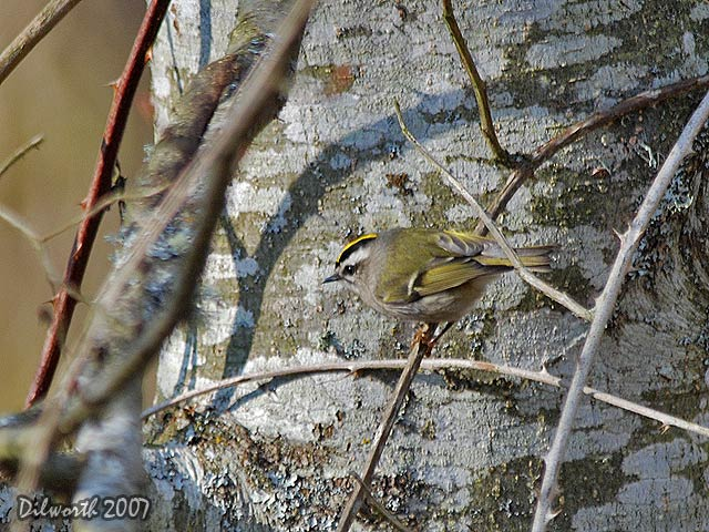 578 Golden-crowned Kinglet