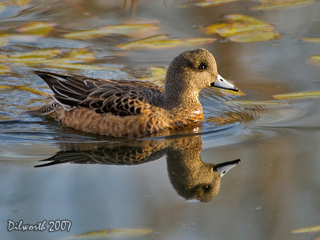 579m1 American Wigeon