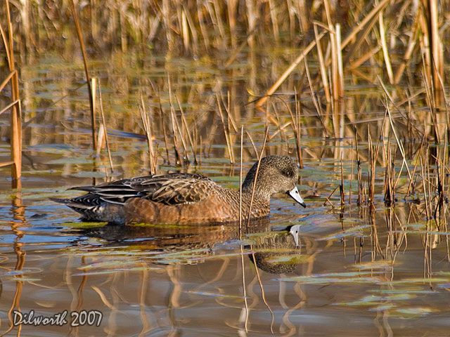 579m2 American Wigeon
