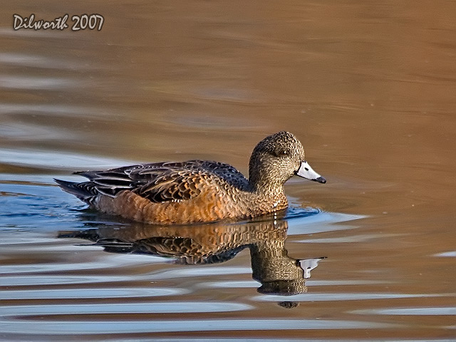 579m3 American Wigeon