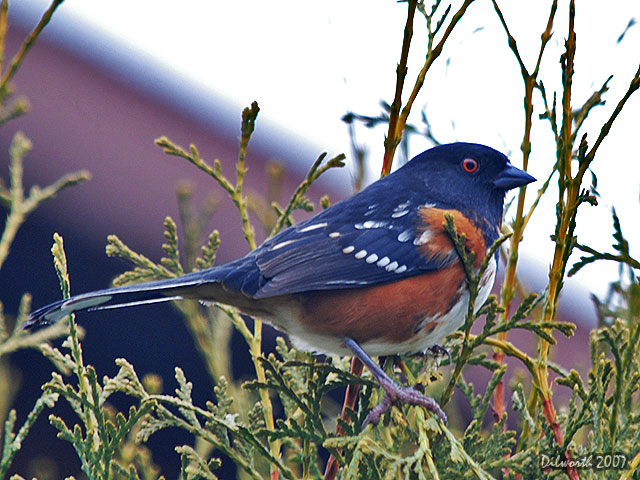 585 Spotted Towhee