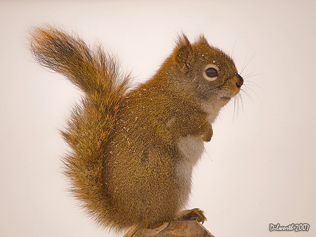 587 Red Squirrel