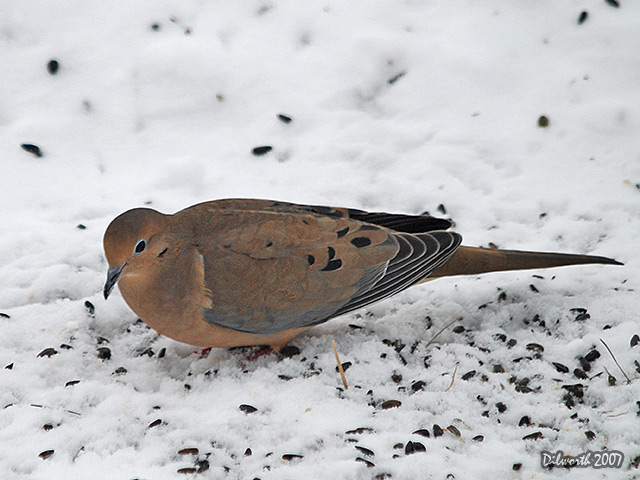 588 Mourning Dove