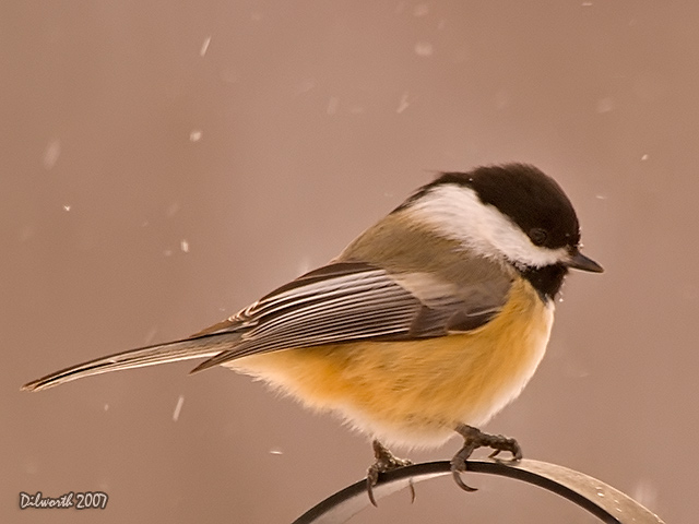 591 Black-capped Chickadee