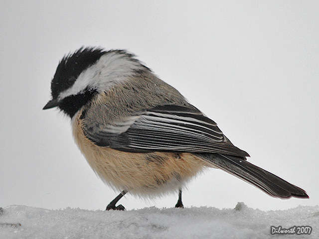 591m Black-capped Chickadee