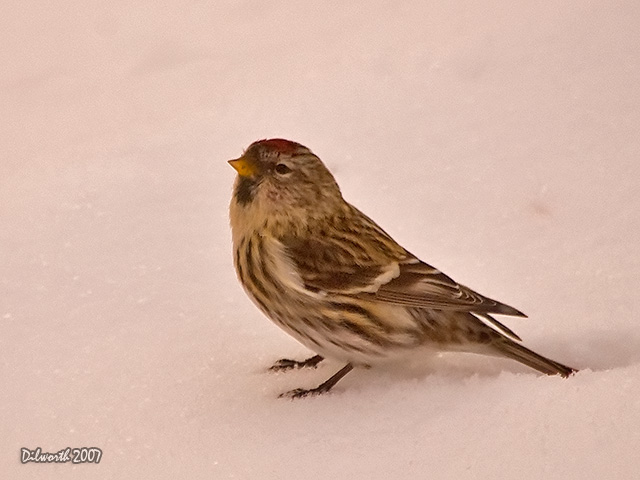 592m1 Common Redpoll