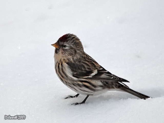 592m2 Common Redpoll