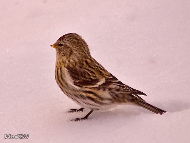 592m3 Common Redpoll