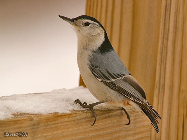 593 White-breasted Nuthatch