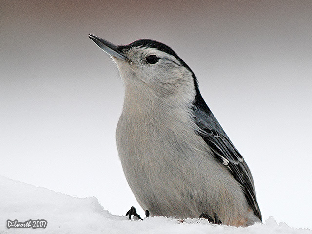 593m1 White-breasted Nuthatch