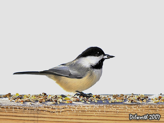 600 Black-capped Chickadee