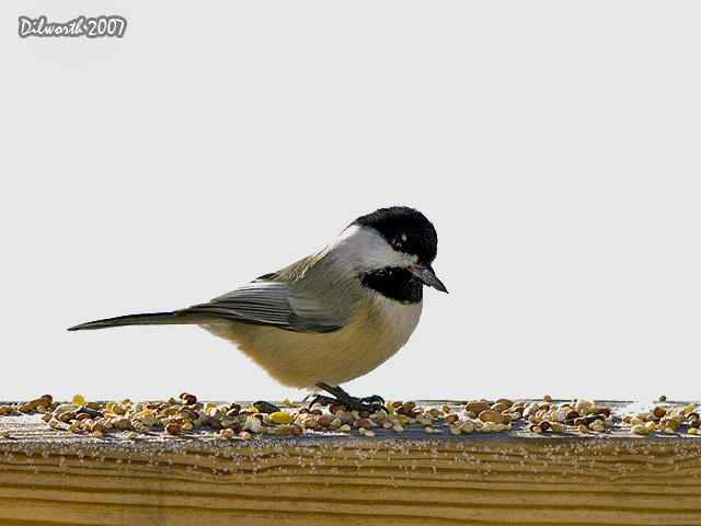 600m Black-capped Chickadee