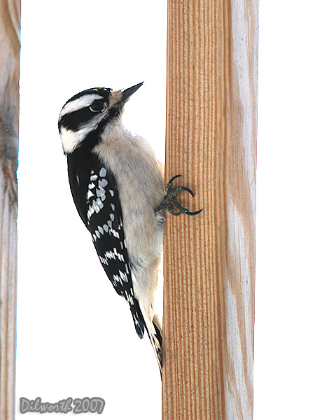 v601 Downy Woodpecker