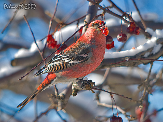 604 Pine Grosbeak