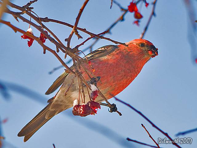 604m1 Pine Grosbeak