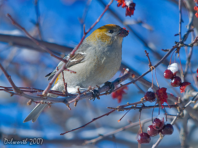 605 Pine Grosbeak