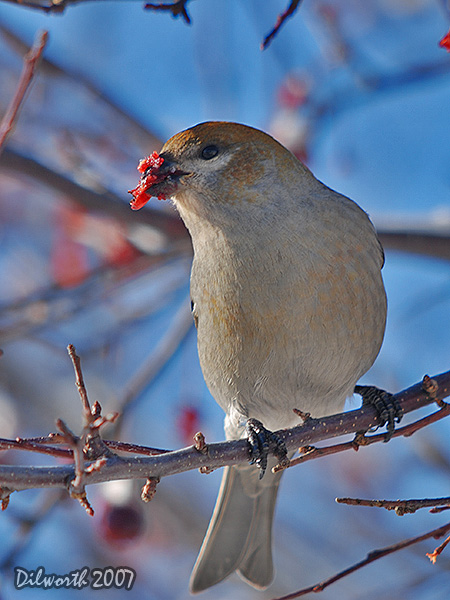 v605m1 Pine Grosbeak