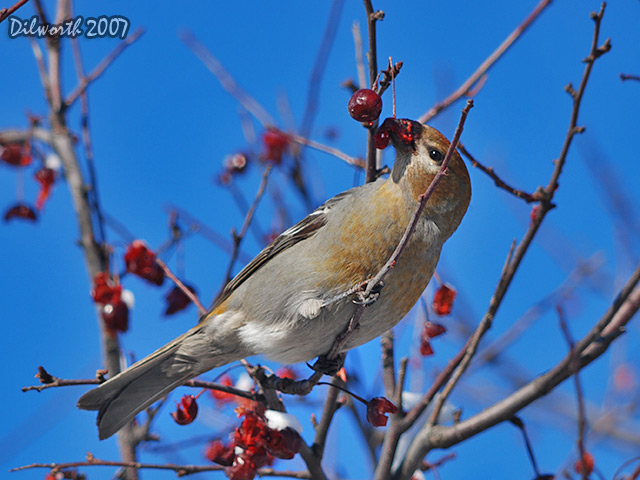 605m2 Pine Grosbeak