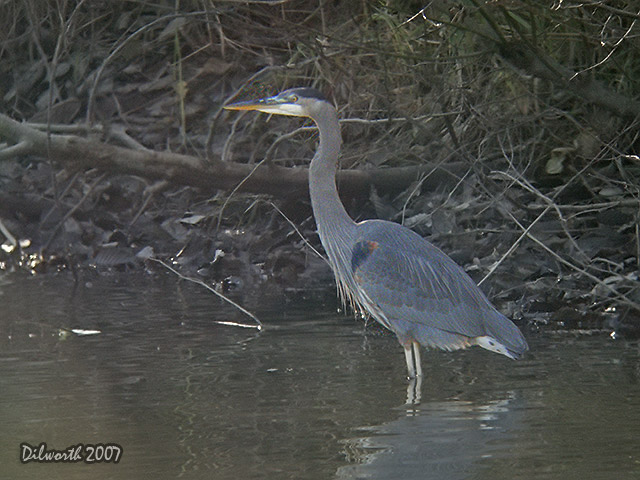 607 Great Blue Heron