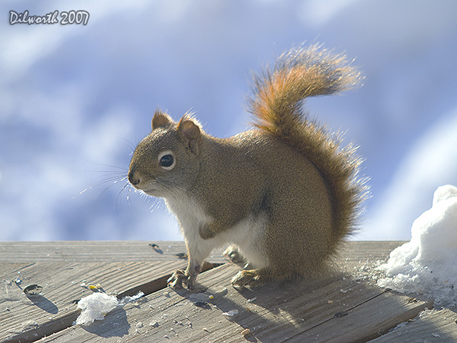 609 Red Squirrel