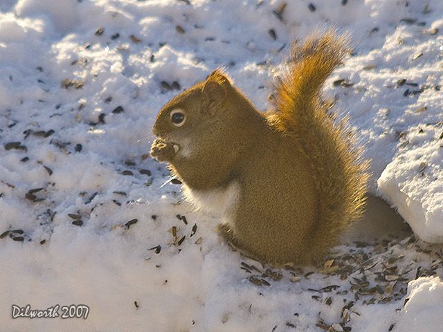 609m1 Red Squirrel