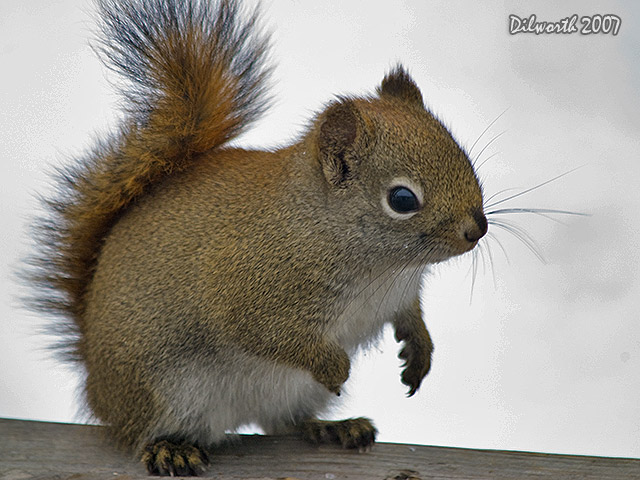 610m2 Red Squirrel