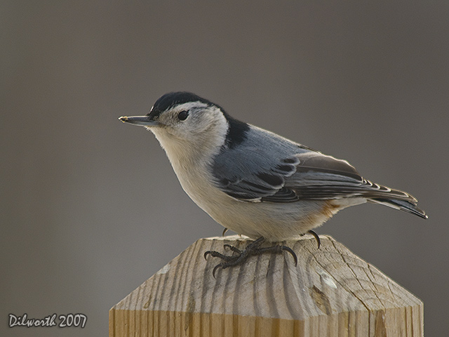 612 White-breasted Nuthatch