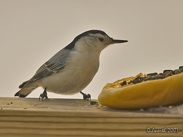 612m1 White-breasted Nuthatch