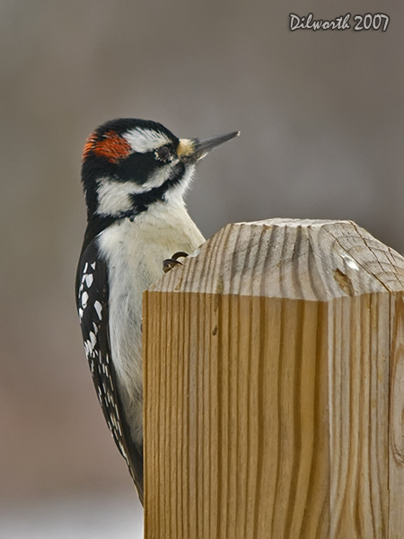 v613 Hairy Woodpecker