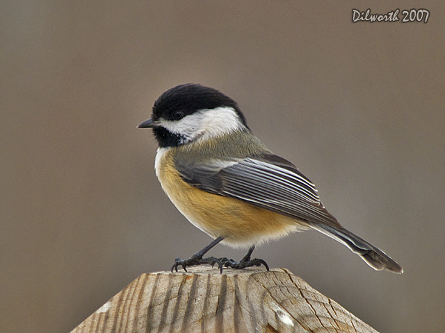 614 Black-capped Chickadee