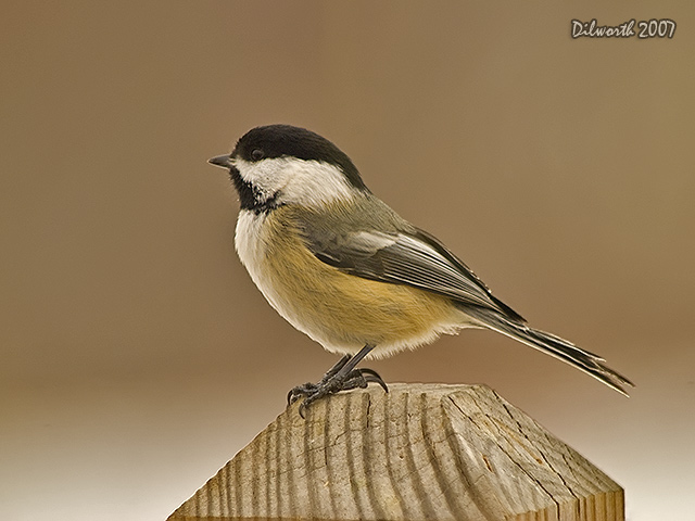 614m Black-capped Chickadee
