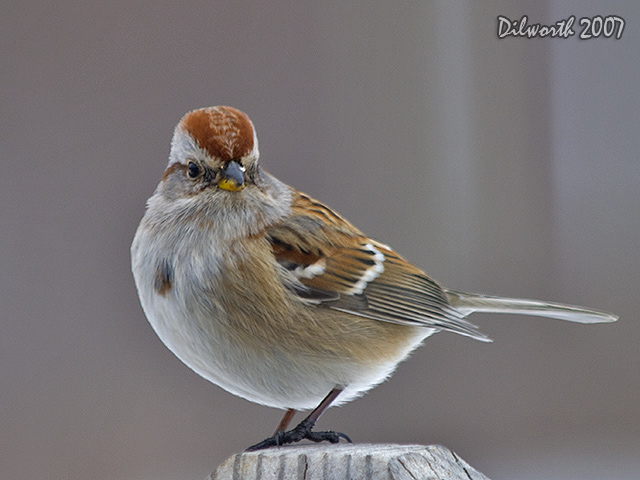 615m1 American Tree Sparrow