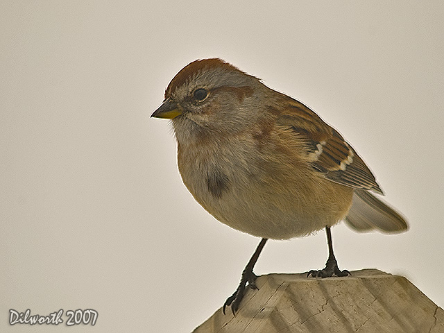 615m3 American Tree Sparrow