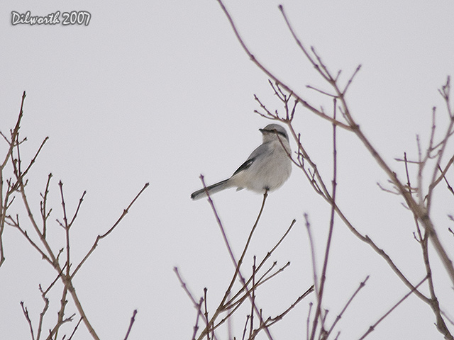 616 Northern Shrike