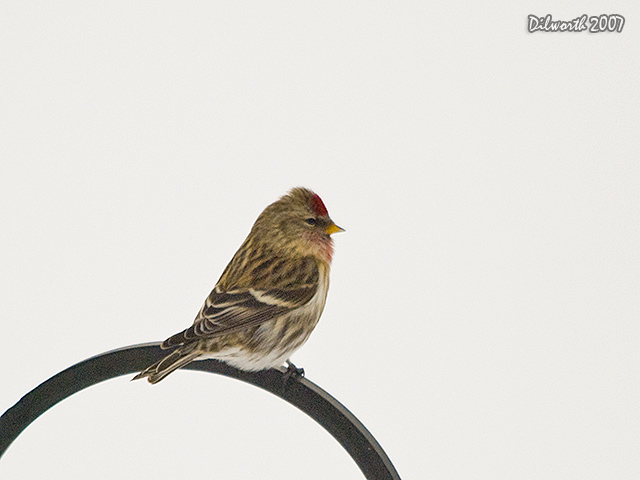 617 Common Redpoll