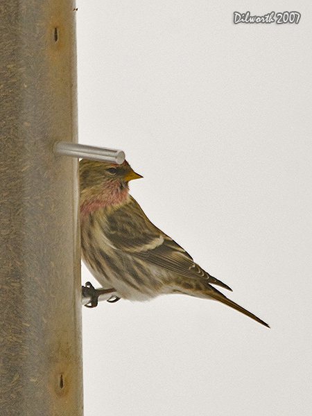 v617m Common Redpoll