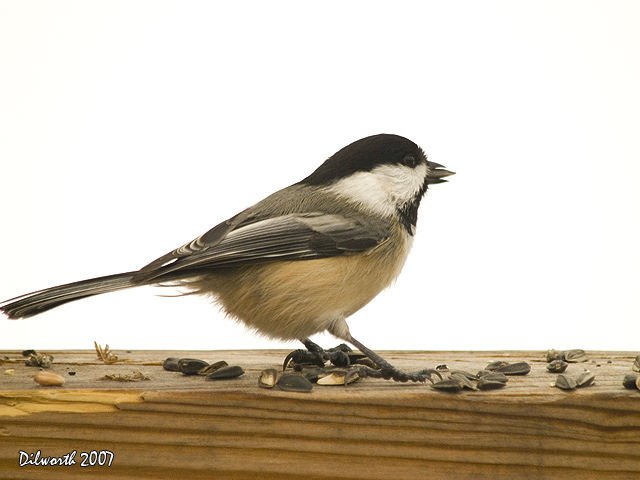 621 Black-capped Chickadee