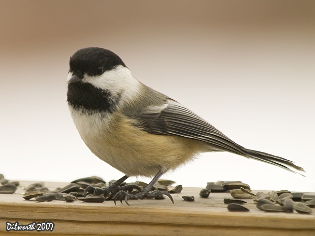 621m Black-capped Chickadee