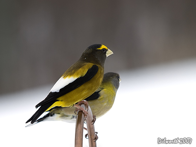 623 Evening Grosbeak